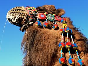Didim Events – Hosting The 2013 Camel Wrestling